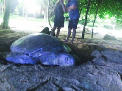 Grüne Meeresschildkröte (hinten das Licht unseres Bungalows)