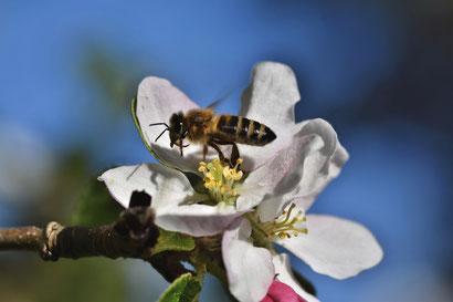 Foto: Biene auf Apfelblüte, Pixabay