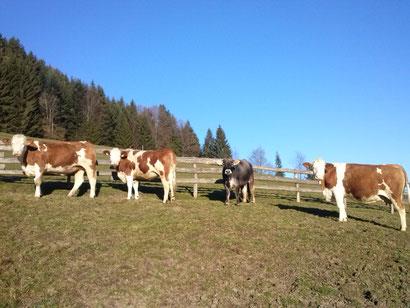Die Jungtiere im Auslauf am Schürzberghof