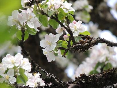 Apfelblüte am Schürzberghof