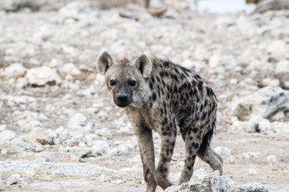 Hyäne Etosha National Park Namibia