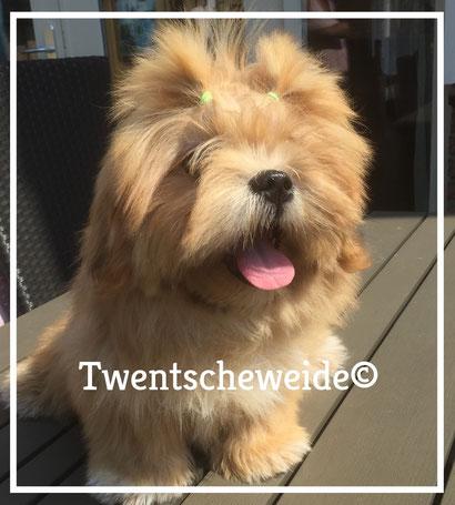 Shih Tzu Boomer hondje blond kleurig