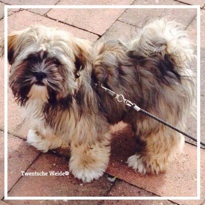 gezelschapshonden-pups-boomer-puppies