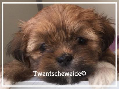 SHIHTZU kruising BOOMER puppy