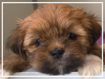 donker bruine Boomer pup mix tussen twee langharige hondjes
