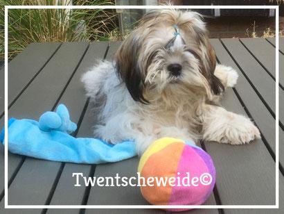 Shih Tzu hond Tri color kleurig met speelgoed