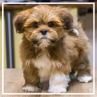 'langharige boomer pups bruin kruising maltezer'