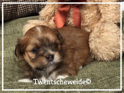 leuke bruine kruising shih-tzu boomer pup met teddybeer