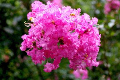 百日紅の花 映画ではお栄の母の家の庭に咲いている大きな木でした