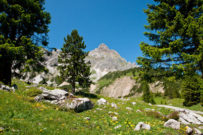 Zirbelkiefer in den Alpen Die Wohlfühlzirbe Zirbe Arve