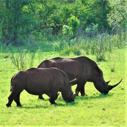Südafrika Hluhluwe Nationalpark Eintritt Rhinos