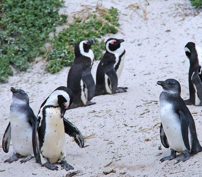 Ausflüge Kapstadt Reisetipps: Pinguine Boulders Beach