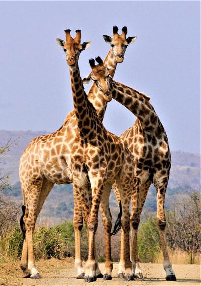 Südafrika Hluhluwe Imfolozi Park Eintritt