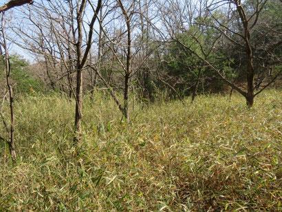 下草のササが伸び放題のクリ畑。