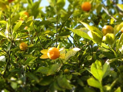 家の近くに実っていました。かわいいオレンジの果実。
