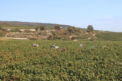 Weinlese im Burgund
