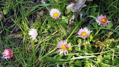 Halb und ganz geöffnete Blüten der Gänseblümchen aus dem bunten Wiesenblumen-Potpourri von K.D. Michaelis