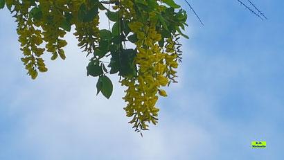 goldgelbe Blütendolden und grüne Blätter des Goldregens vor einem strahlendblauen Frühlingshimmel von K.D. Michaelis