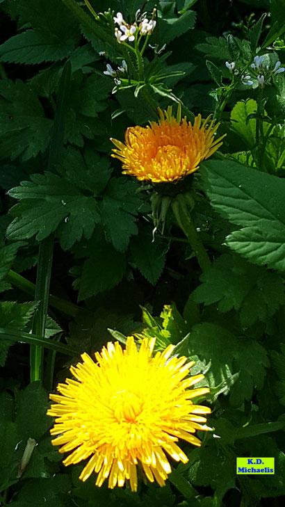 Eine fast orangefarbene und eine strahlendgelbe Löwenzahnblüte von K.D. Michaelis