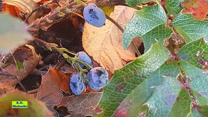Gewöhnliche oder Stechdornblättrige Mahonie mit ihren blauen Beeren (rot markiert) von K.D. Michaelis