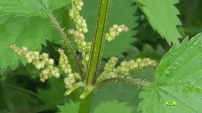 Nahaufnahme der winzigen, runden Blütenknospen einer Brennnessel nebst grün/scharzem Stiel mit Brennhaaren und grünen Blätter von K.D. Michaelis,