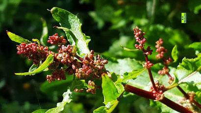 Rote Blütenknospen und grüne Blätter des Sauerampfers aus dem bunten Wiesenblumen-Potpourri von K.D. Michaelis