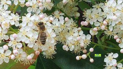 Nahaufnahme der weißen Glanzmispel-Blüten mit einer Nektar trinkenden Biene von K.D. Michaelis