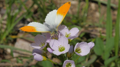 Weißrosa Blüten Wiesenschaumkrauts / Schaumkrauts von Werner Grundmann aus dem bunten Wiesenblumen-Potpourri von K.D. Michaelis