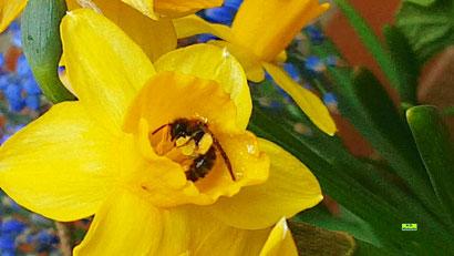Kleine Biene beim Pollensammeln in meinen Mini-Osterglocken auf dem Balkon am 01. April 2021 von K.D. Michaelis