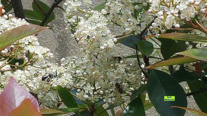 Weiße Blütendolden der Glanzmispeln mit drei Bienen im Sonnenschein von K.D. Michaelis
