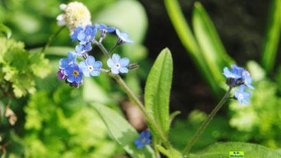 Hellblaue Glüten und grüne Blätter des Vergissmeinnicht aus dem bunten Wiesenblumen-Potpourri von K.D. Michaelis