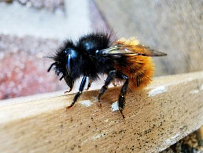 Detailaufnahme einer roten Mauerbiene von Marc Wettering