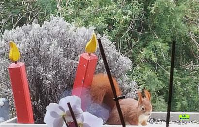 Rotes Eichhörnchen / Eichkätzchen / Aickkatzerl beim Frühstück auf meinem Balkon. Video von K.D. Michaelis