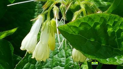 Nahaufnahme der fast weißen Einzelblüten des Beinwell nebst den sattgrünen Blättern im strahlenden Sonnenschein von K.D. Michaelis