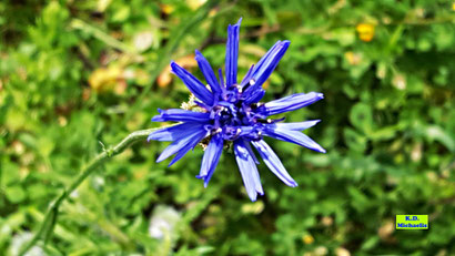 Dunkelblaue Blüte einer Kornblume / Zyane aus dem bunten Wiesenblumen-Potpourri von K.D. Michaelis