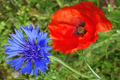 Blüten der blauen Kornblume und einer roten Klatschmohn-Blüte aus dem bunten Wiesenblumen-Potpourri von K.D. Michaelis