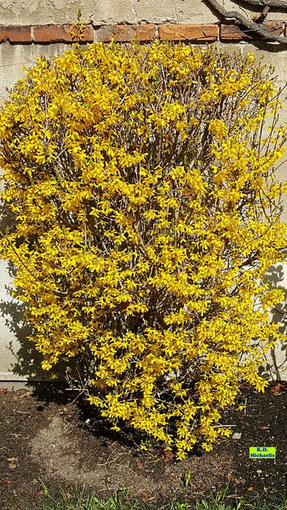 Gelbblühende Gartenforsythie im April aufgenommen von K.D. Michaelis
