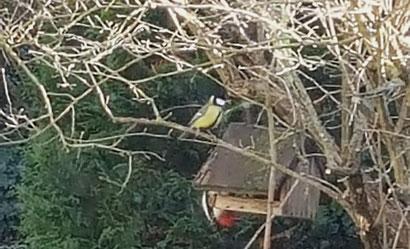 Kohlmeise und Buntspecht im Januar am Vogelfutterhäuschen von K.D. Michaelis