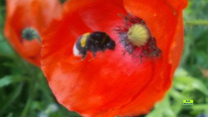 Nahaufnahme einer Erdhummel im Anflug auf eine Mohnblumen-Blüte von K.D. Michaelis