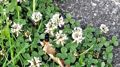 Weiße Blüten und grüne Blätter des Weißklees / Kriechklees aus dem bunten Wiesenblumen-Potpourri von K.D. Michaelis