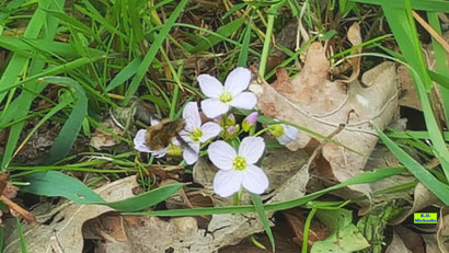 Großer Wollschweber auf den fast weißen Blüten des Wiesenschaumkrauts von K.D. Michaelis