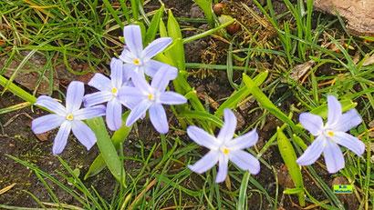 Blüten und Blätter eines hellblauen Blausterns / Scilla / Szilla aus dem bunten Wiesenblumen-Potpourri von K.D. Michaelis