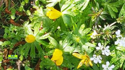 Gelbe Blüten und grüne Blätter des Winterlings aus dem bunten Wiesenblumen-Potpourri von K.D. Michaelis