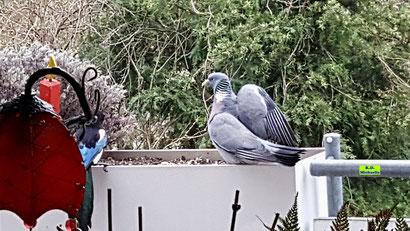 Links eine Elster, welche die rechts daneben sitzende Taube vom Futter vertreiben will. Elstern-Video von K.D. Michaelis