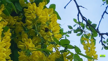 Eine Hummel beim Nektarschlürfen in den leuchtendgelben Blüten eines Goldregens an einem schönen Frühlingstag mitten in Hannover von K.D. Michaelis