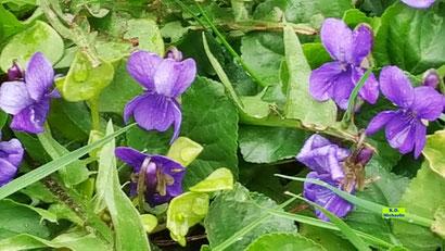 Dunkellila Veilchen-Blüten zwischen grünen Blättern aus dem bunten Wiesenblumen-Potpourri von K.D. Michaelis
