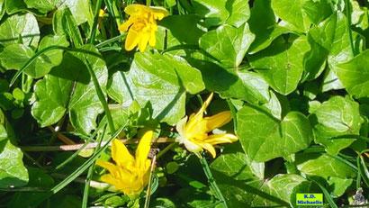 Gelbe Blüten und grüne Blätter des Scharbockskraut aus dem bunten Wiesenblumen-Potpourri von K.D. Michaelis
