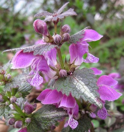 Nahaufnahme der rosalilafarbenen Blüten der Gefleckten Taubnessel von WickimediaImages auf Pixabay (freie kommerzielle Nutzung)