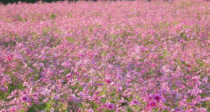 こんな小春日和のおだやかな日は… 「秋桜」から