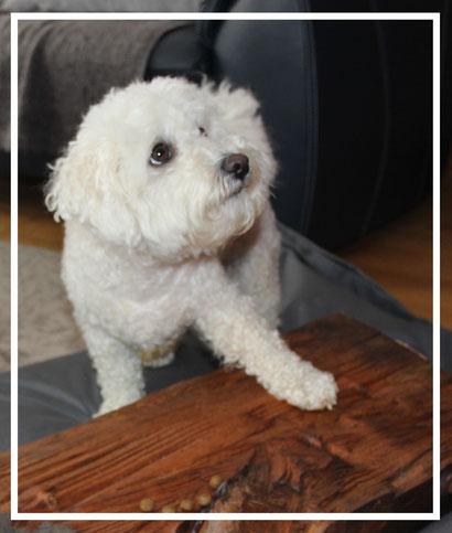 Bichon frisé Test Hundefutter Yarrah
